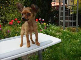 Foto 3 Russkiy Toy Terrier