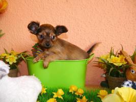 Foto 6 Russkiy Toy Terrier