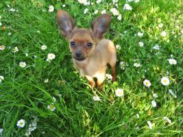 Foto 4 Russkiy Toy Terrier