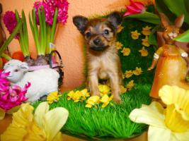 Foto 8 Russkiy Toy Terrier