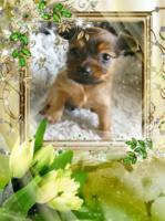 Foto 10 Russkiy Toy Terrier