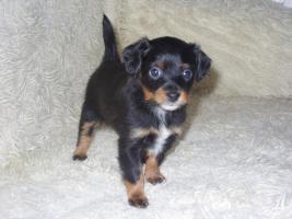 Foto 3 Russkiy Toy Terrier Welpen Chihuahua Zwergpinscher Yorkshire