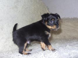 Foto 7 Russkiy Toy Terrier Welpen Chihuahua Zwergpinscher Yorkshire