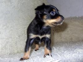 Foto 9 Russkiy Toy Terrier Welpen Chihuahua Zwergpinscher Yorkshire