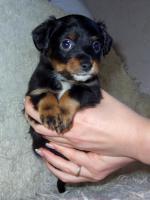 Foto 12 Russkiy Toy Terrier Welpen Chihuahua Zwergpinscher Yorkshire