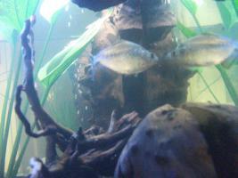 Foto 2 S.Rhombeus (Schwarzer Piranha) Import aus Peru