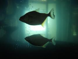 Foto 3 S.Rhombeus (Schwarzer Piranha) Import aus Peru