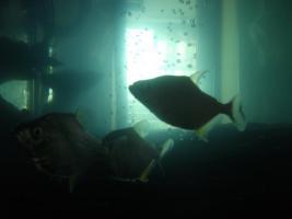Foto 4 S.Rhombeus (Schwarzer Piranha) Import aus Peru