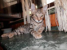 Savannah Katzenbabys F6 SBT