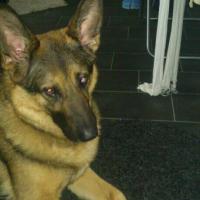 Foto 3 Schäferhund Mix 4 Jahre Dringend neues zuhause gesucht