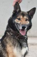 Foto 4 Schäferhund Mix MARTIN sucht ein Zuhause oder PS