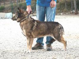 Foto 3 Schäferhund Mix MARTINA sucht ein Zuhause oder PS
