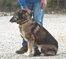 Foto 5 Schäferhund Mix MARTINA sucht ein Zuhause oder PS