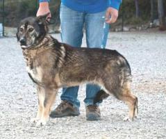 Foto 6 Schäferhund Mix MARTINA sucht ein Zuhause oder PS