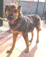 Foto 9 Schäferhund Mix MISTYC sucht ein Zuhause oder PS