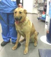 Schäferhund Mix PAOLO sucht ein Zuhause oder PS