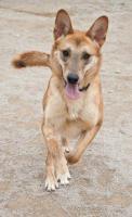 Schäferhund Mix TANGO sucht ein Zuhause oder PS