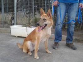 Foto 4 Schäferhund Mix TANGO sucht ein Zuhause oder PS