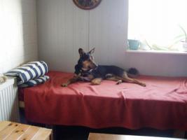 Foto 6 Schäferhund Mix aus dem Tierschutz!