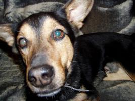 Foto 7 Schäferhund Mix aus dem Tierschutz!