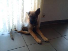 Foto 2 Schäferhund Mix (rüde)