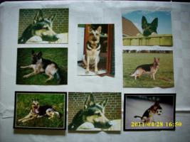Schäferhund-Postkarten