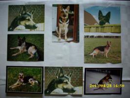 Foto 2 Schäferhund-Postkarten