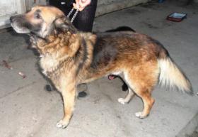 Foto 2 Schäferhund Rheno (vielleicht auch Mix)