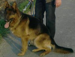 Schäferhund Rüde