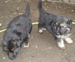 Foto 2 Schäferhund Welpen