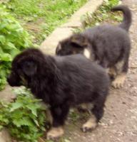 Foto 4 Schäferhund Welpen