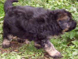 Foto 6 Schäferhund Welpen