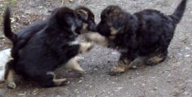 Foto 9 Schäferhund Welpen
