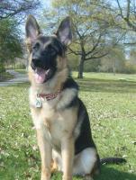 Foto 2 Schäferhund ab zu geben