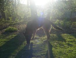 Foto 4 Schäferhund ab zu geben