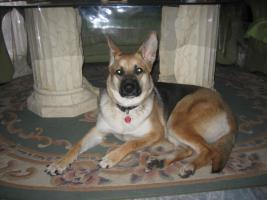 Foto 2 Schäferhund mischling