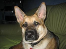 Foto 4 Schäferhund mischling