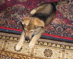 Foto 4 Schäferhund- Hundewelpen