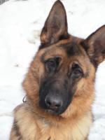 Foto 2 Schäferhund  Vermisst