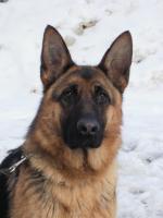 Foto 3 Schäferhund  Vermisst