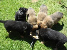 Foto 2 Schäferhundewelpen