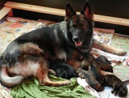 Schäferhundewelpen aus fam. Leistungszucht