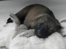 Foto 2 Schäferhundewelpen aus fam. Leistungszucht