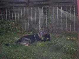 Foto 3 Schäferhundrüde sucht ganz dringend ein neues zu hause