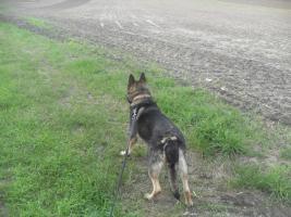 Foto 4 Schäferhundrüde sucht ganz dringend ein neues zu hause