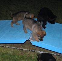 Foto 2 Schäferhundwelpen in Langhaar und Stockhaar