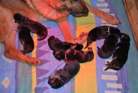 Foto 6 Schäferhundwelpen, kräftig, gesund, rote SV-Papiere, Familienaufzucht, Top!