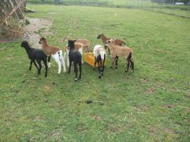 Foto 2 Schafe - Lämmer - verschiedener Rassen zu verkaufen