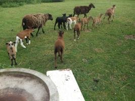 Foto 3 Schafe - Lämmer - verschiedener Rassen zu verkaufen
