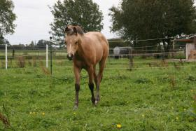 Foto 4 Schickes Allrounder-QH-Absetzerstütchen - buckskin – Hollywood/Fritz Power Enkelin